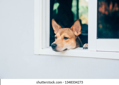 young Thai dog looks out of a white window