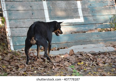 Young Thai dog Retriever in urine.junior puppy makes toilet outside in the park.