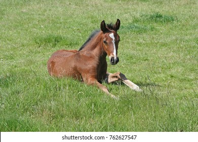A young Thoroughbred Foal resting in a grass paddock
