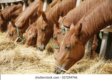 Young thoroughbred horses eating fresh hay between the bars of an old wooden fence. Herd of  horses eating dry hay in the summer stable