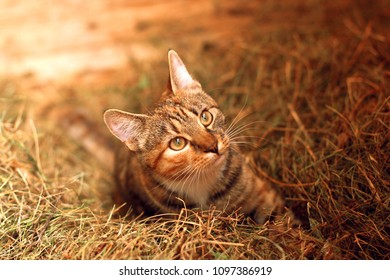 A young three-colored cat is playing in the hay
