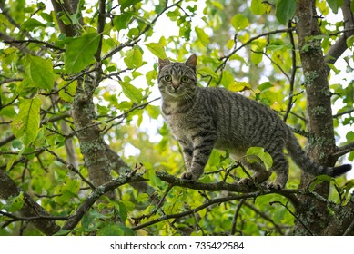 Young tiger color cat climbed high on apple tree, Russia