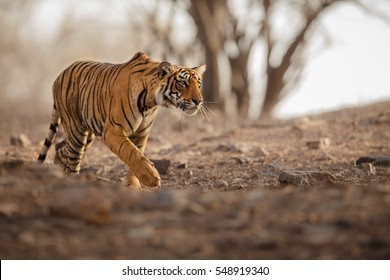 Young tiger female is creeping for prey/wild animal in the nature habitat/India, big cats, endangered animals, what a look, close up