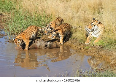Young tigers learning to hunt.