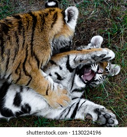 Young Tigers Playing in Grass