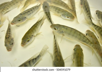 Young tilapia fish in clear water