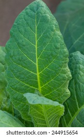 young tobacco leaf in nature background