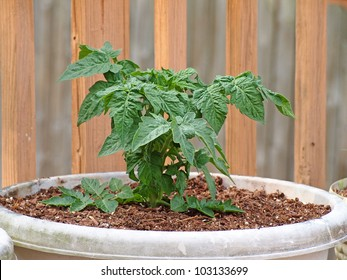 young tomato plant in container