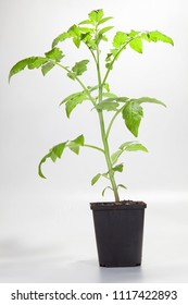 Young tomato plant in a pot in front of a white background
