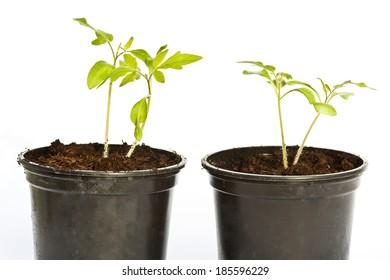 young tomato plants.
