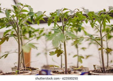 Young tomato plants in pots, natural organic farming in soil. Selective focus.