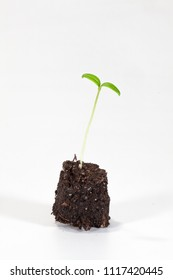 Young tomato seedling in brown soil in front of a white background