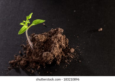 Young tomato seedling on the black background