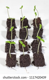 Young tomato seedlings in brown soil in front of a white background