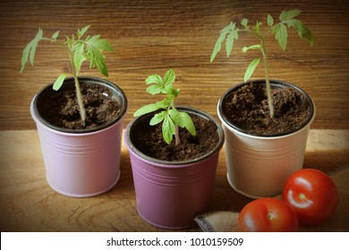 Young tomato seedlings growing in pots on wooden backdround. Gardening concept