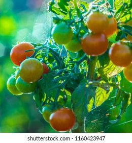 Young tomatoes in the morning