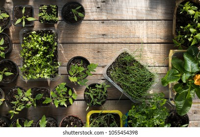 Young tomatoes, parsley, chives, carrot, coriander. Garden and agriculture concept.