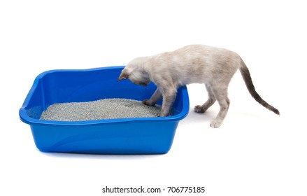 Young tortie point Siamese cat investigating her litter box, on white