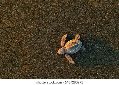 Young tortoise born in wild, sunset. Loggerhead Sea Turtle, Caretta caretta, evening birth on the sand beach, Corcovado NP, Costa Rica. First minute of live, small turtles running to the sea water.