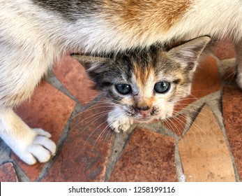 Young tortoiseshell calico kitten standing underneath her mother