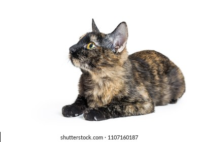 Young tortoiseshell cat lying down on white facing and looking to side