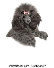 Young Toy Poodle above banner on white background