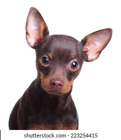 Young toy terrier dog isolated on a white background.