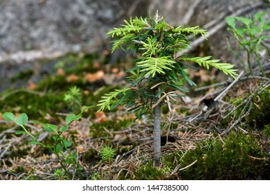 Young tree Abies alba growing in the conifer forest. Also known as European silver fir or silver fir. Natural environment.