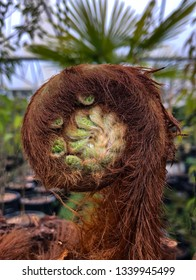 Young tree fern slowly unfurling in spring for new growth. Spiral frond close up macro of furry, hairy texture with tropical palm tree in blurred background. Foliage gradual slowly unfold.