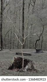 Young tree growing inside old stump. Fits themes for rebirth, resilience, life, nature.