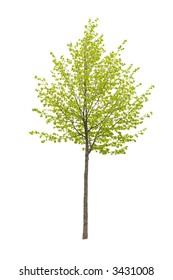 Young tree isolated on a white background