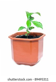young tree of lemon is in a pot