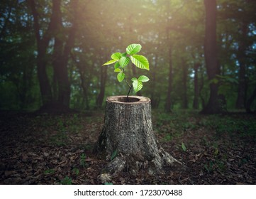 Young tree plant emerging from old tree stump