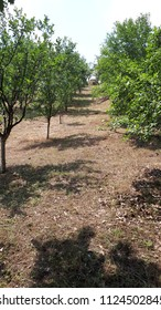Young trees with green leaves in rows with  shadows and blue skay