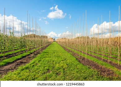 Young trees grow along high bamboo sticks at a Dutch tree nursery on a sunny day in the autumn season. Green grass grows between the trees. There are white Cumulus clouds on the blue sky.