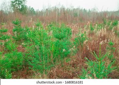 En el bosque crecen árboles jóvenes. Los árboles de coníferas crecen sobre una vieja tala. Reforestación en el planeta. Silvicultura y forestación.