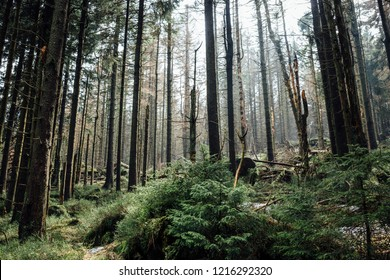 Young trees grow on the forest floor in the coniferous forest