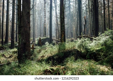 Young trees in the morning light, in coniferous forest