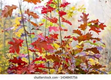 Young trees of red oak in the forest with multicolored autumn leaves