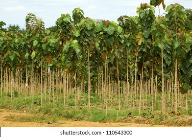 Young trees, Teak plantation, Panam�¢?�¡, Central America