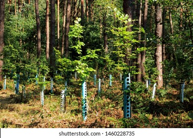 Young trees with tree protection in tree conversation