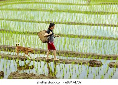 A young tribal lady is walking on the ridge with her dog in the rice field. Chiang Mai, Thailand.