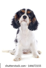 young tricolor cavalier king charles in front of white background