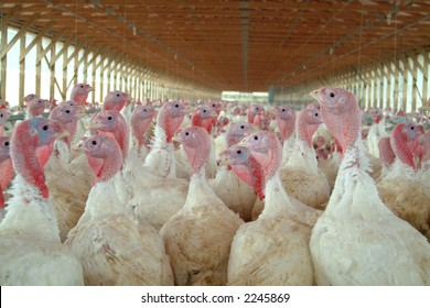 a young turkey on a farm, with blurry background