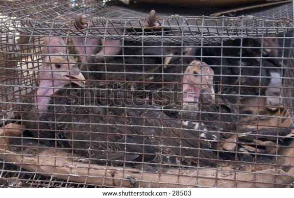 Young turkeys crammed in a cage at a farmers' market in Crete, Greece.