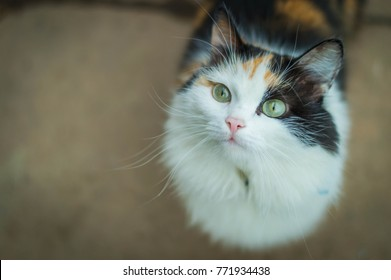 Young turtle three-colored hungry cat looking sad. Calico cat with green eyes waiting for food. Portrait of asks tortoiseshell cat. Turtle black white red sweet lovely kitten at home - happy pet day