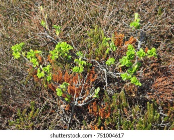 Young twigs of Ramanas rose grow amid of Black Crowberries in a dune slack on the North sea island of Sylt