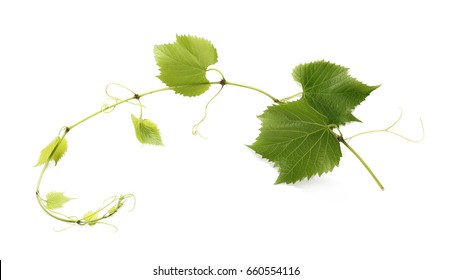 young twisting wine branch isolated on white