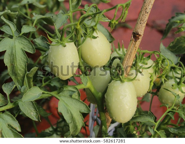 Young unripe Fruit Tomatoes
