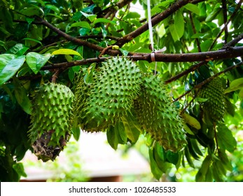 Young unripe Soursop (Annona Muricata) on a tree. Known to have medical benefits and healthy. Popular as juice drinks in South East Asia.